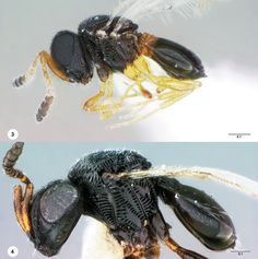 Paratelenomus saccharalis Psix tunetanus