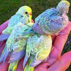 A handful of baby Rainbow Budgies.