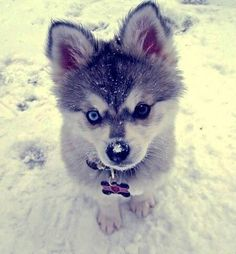If this Husky puppy only knew how cute he was~