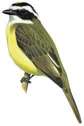 White-ringed Flycatcher (Conopias albovittatus)