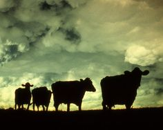 Cow Silhouette Fine Art Photography Wall by ArtistWithTheCamera