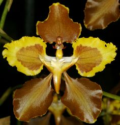 Cyrtochilum x monacranthum - Flickr - Photo Sharing!