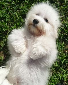 Their tiny European canine companions are believed to have intermingled having a variety of native Malagasy dogs for the next few hundred years, lastly evolving in to the Coton de Tulear.