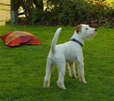 Parson Russell Terrier (1)