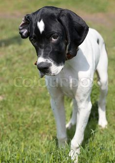 112 Best English Pointer Images Pointer Puppies Dogs Hunting Dogs