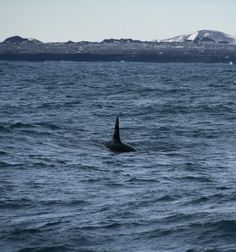 Orcas off Grindavik, Iceland on 1-3-2015 by Special Tours.