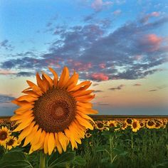 #colorado #sunflower #sun #sunrise #clouds #light #DIA #Airport #greens #yellows #flowers #summer #coloradolife #coloradosummer #coloradoweather #coloradocameraclub @coloradocameraclub #coloradolandscapes #landscapes #landscapephotography #seeds #sunflowerseeds #morning #darrenwhite #darrenwhitephotography