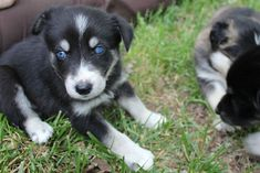 A blue-eyed, black and white puppy sitting in the grass.