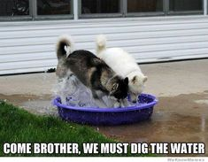 My husky digs her water bowl all the time . Gotta luv a Husky ! Animals And Pets, Funny Animals, Cute Animals, Dog Pictures, Animal Pictures, Funny Pictures, Funny Images, I Love Dogs, Cute Dogs