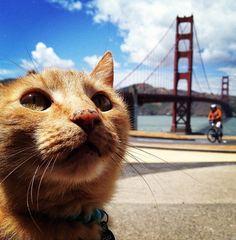 Gato é fotografado diante da ponte Golden Gate. (Foto: Justin Sullivan/Getty Images/AFP )
