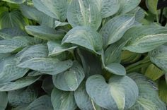 Hosta 'Kiwi Full Monty', O'Brien Nursery