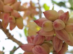 pistachios......i had no idea