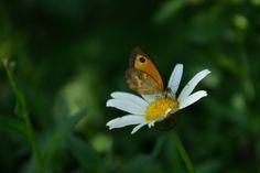 Daisy-Butterfly by isert