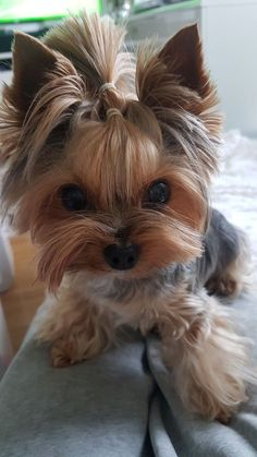 (notitle) - yorkshire terrier Cosma my love - Super Cute Puppies, Cute Little Puppies, Cute Dogs And Puppies, Cute Little Animals, Baby Dogs, Little Dogs, Cute Funny Animals, Yorky Terrier, Terrier Dogs