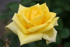 """Sunbright Hybrid Tea Roses Every garden needs a splash of yellow and this rose will do the trick. Long, pointed buds open to show off 4"""" blooms against mid-green leaves in continuous fashion. Cut to bring in the house or plant where you want a bit of sunshine. 28 petals."""