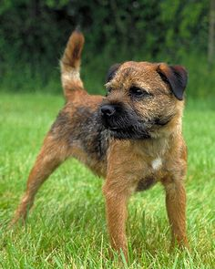 Border Terrier - coming soon!