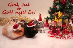 Guinea Pigs at Christmas, text in swedish. Merry Christmas & Happy New Year!