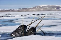 large pics of norwhals | The Big Taiji List: Summer Narwhal Hunt Confirmed for 2013