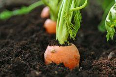 Sadenie mrkvy, hrachu, fazuľe, cibule či kalerábu – kedy a ako Organic Soil, Grow Organic, Organic Farming, Clay Soil, Types Of Soil, Organic Recipes, Agriculture, Healthy Recipes, Plants