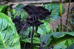 "Tacca chantrieri, a ""flor morcego"""