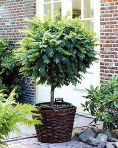 Kugelakazie Stämmchen, 1 Pflanze
