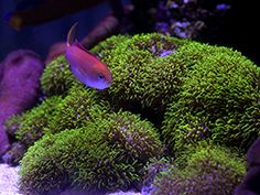 Green Star Polypsgreen star polyps   these guys are so cool    Reef tank  . Green Star Polyp Lighting Requirements. Home Design Ideas