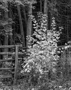 Young Maple Bw.  A flamboyant young maple tree shows off its autumn colors beside a split rail fence in southern Ontario. B&W version.