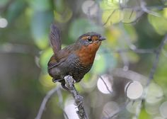 Chucao Tapaculo (Scelorchilus rubecula IMG_1938recenfmred.jpg (2000×1426)