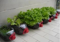 Recycle, Reuse: Grow Lettuce in Old Plastic Jugs      Another nifty way to grow lettuce in an old jug. Especially great if you don't have a yard!