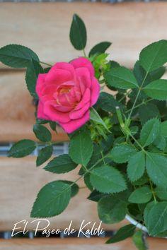 Flores hermosas como estas podes encontrar en nuestro local. El Paseo de Kaldi #rosario #viveroboutique #rosarococo Photo And Video, Rose, Instagram, Vivarium, Walks, Rosario, Plants, Flowers, Pink