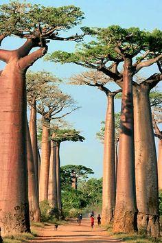 Baobab Alley - Morondava & Kirindy Reserve #Madagascar #travel