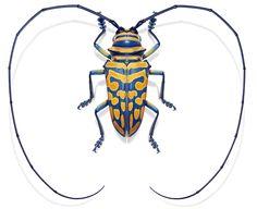 """""""Sternotomis bohemani"""" misst gerade mal 30 Millimeter. Dieser gelb gefleckte Mini-Käfer kann Kaffee- und Kakaopflanzen in Abessinen, Sansiba..."""