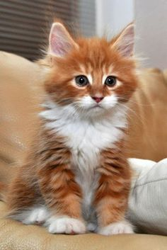 Orange and white fluffy cat.