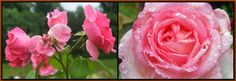 Roses with raindrops!