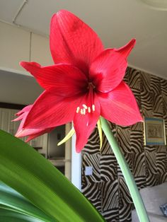 Amaryllis looking pretty in the summer!