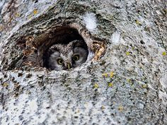 Curious boreal owl #owl