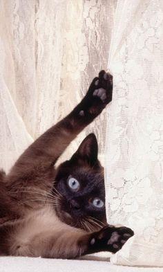 480x800 Wallpaper cat, curtains, playful, lie