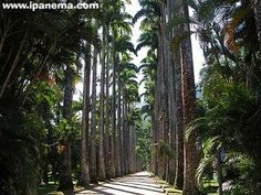 Jardim Botanico-Rio de Janeiro, Brazil: Famous royal palms, dating back to the period of Dom João VI. These trees were originally reserved for the royal family only. All palms are originated from a single tree, the Palma Mater (that was recently destroyed by lightning). The seeds were to be burned, so that they wouldn't be used by ordinary subjects. Slaves would hide them and smuggle them outside the gardens. Many of them purchased their freedom papers using money earned from selling these…