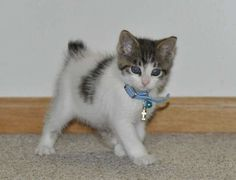 Kittens for adoption : Kitten and cat classifieds / Japanese ...