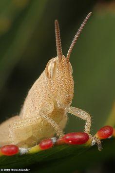 Ivory grasshopper