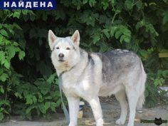 Найдена собака знамя октября г.Подольск http://poiskzoo.ru/board/read25734.html  POISKZOO.RU/25734 .. июля около .. около дома №.. в посёлке Знамя Октября поселение Рязановское кто-то привязал собаку хаски или помесь хаски с лайкой к забору и ушёл, оставив собаку навсегда. К .. люди обратили внимание на неё, так как собачка громко лаяла. К себе она никого не подпускала. Собака на вид здоровая, откормленная. Кто-то смог перерезать поводок чтобы собака могла двигаться, а не находиться на…