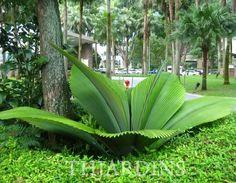 Plant Johannesteijsmannia or leaves Umbrella Indonesia Unusual Plants, Rare Plants, Exotic Plants, Cool Plants, Tropical Plants, Tropical Gardens, Florida Landscaping, Tropical Landscaping, Landscaping Plants