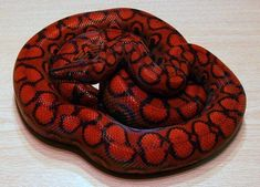 10 Ridiculously Red Reptiles - Reptile World Facts Red Morph Brazilian Rainbow . - 10 Ridiculously Red Reptiles – Reptile World Facts Red Morph Brazilian Rainbow Boa (Epicrates ce - Pretty Snakes, Cool Snakes, Colorful Snakes, Beautiful Snakes, Colorful Animals, Reptiles And Amphibians, Cute Reptiles, Reptiles Preschool, Pretty Animals