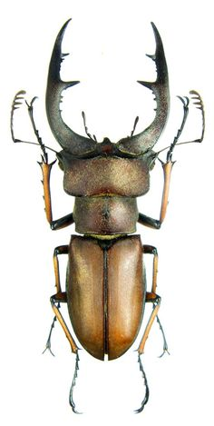 Lucanus formosus (there is something about stag beetles that worries people...):