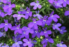 Add rich, dramatic blue colour to containers and hanging baskets with Tried & True Royal Blue Waterfall lobelia.