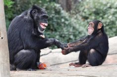 Chimps at the Little Rock Zoo, by Catherine Hopkins