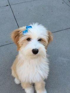DolBrooks Tibetan Terriers Kennels puppies for Sale