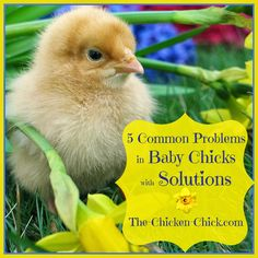 5 Common Problems in Baby Chicks with Solutions @Matty Chuah-Chicken-Chick.com