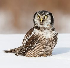 NORTHERN HAWK OWL by © Jack Fortier