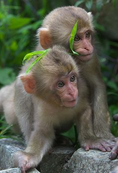 Young snow monkeys